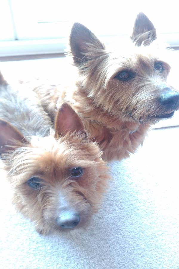 Barnie & Pixie Australian Terriers
